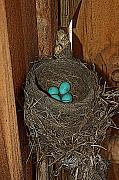 Nest Drawings - Robin Blue by Diane E Berry