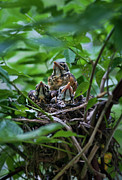Chick Framed Prints - Robin chicks in nest. Framed Print by John Greim