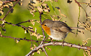 Singing Photo Originals - Robin by Chris  Camilleri