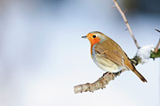 Side View Art - Robin (erithacus Rubecula) by Andrew Howe