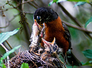 Feeding Birds Photos - Robin Feeding Young 1 by Terry Elniski
