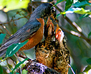 Feeding Birds Metal Prints - Robin Feeding Young 2 Metal Print by Terry Elniski