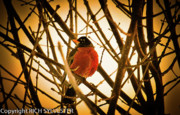 Branches Pyrography Posters - Robin in late sun Poster by Rch  Sylvester