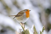 Snowy Tree Posters - Robin In The Snow Poster by Colin Varndell