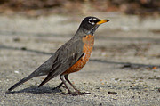 Wing Photos - Robin by Lisa  Phillips