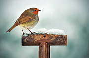 Robin Photos - Robin On Garden Spade In Snow by Www.mosbornephotography.co.uk