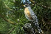 Animals In Gardens Posters - Robin Perched On A Branch, Botanical Poster by Philippe Henry