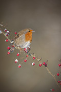 Hawthorn Prints - Robins Berries Print by Andy Astbury