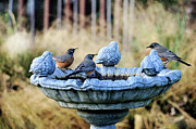 Focus On Foreground Metal Prints - Robins On Birdbath Metal Print by Barbara Rich