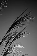 Robinwood Grasses Print by Kristen Vota