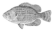 Aquatic Posters - Rock Bass Poster by Granger