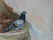 Sri Lankan Artist Paintings - Rock Dove by Sasitha Weerasinghe