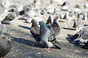 Livia Prints - Rock Pigeons Print by Georgette Douwma