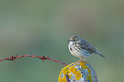 Lichen Image Framed Prints - Rock Pipit, Anthus Petrosus, On Fence Post, Uist Framed Print by Mike Powles