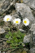 Bellis Prints - Rock-plant Daisy (bellis Margaraetifolia) Print by Bob Gibbons