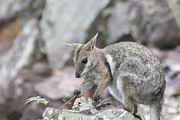 Wallaby Photos - Rock Wallaby by Douglas Barnard