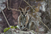 Top-end Prints - Rock Wallaby V2 Print by Douglas Barnard