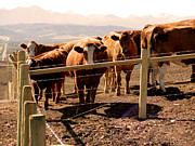 Fence Posts Photos - Rockies Cattle Country by Al Bourassa