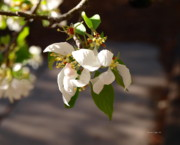 Rocky Mountain Apple Blossoms I Print by Christine S Zipps