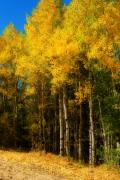 The Lightning Man Framed Prints - Rocky Mountain Aspen Color Framed Print by James Bo Insogna