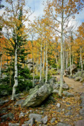 Rocky Mountain National Park Posters Posters - Rocky Mountain Aspens Poster by Brent Parks