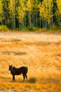 Horses Art Print Prints - Rocky Mountain Autumn Graze Print by James Bo Insogna