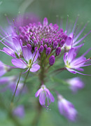 Cleome Flower Framed Prints - Rocky Mountain Bee Plant Cleome Framed Print by Tim Fitzharris