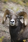 Canadian Prairies Prints - Rocky Mountain Bighorn Sheep Print by Carson Ganci