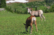 Grazing Art - Rocky mountain bighorn sheep ram and mule deer doe Glacier National Park MT by Christine Till