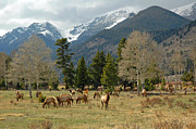 Rocky Mountain National Park Prints Posters - Rocky Mountain Elk Poster by Lynn Bauer