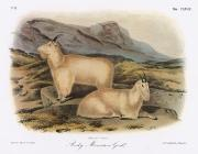 Lithograph Prints - Rocky Mountain Goats Print by Granger