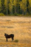 Horses Art Print Prints - Rocky Mountain High Country Autumn Graze Print by James Bo Insogna
