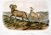 Audubon Framed Prints - Rocky Mountain Sheep, 1846 Framed Print by Granger
