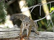 Janet Marston - Rocky Mountain Squirrel...