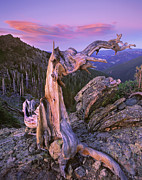 Pinaceae Prints - Rocky Mountains Bristlecone Pine Tree Print by Tim Fitzharris