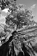 Tree Roots Digital Art Prints - ROCKYTREE in BLACK AND WHITE Print by Rob Hans