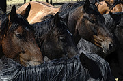 Group Of Horses Prints - Rodeo Bucking Stock Print by Bob Christopher