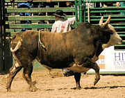 Photo Of Bulls Posters - Rodeo Bull  Poster by Cheryl Poland