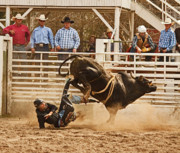 Rodeo Art Digital Art Originals - Rodeo  Bull Rider Hitting the Ground by Mark Hendrickson