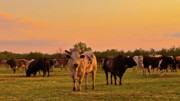 Ranch Prints - Rodeo Bulls at Dawn Print by Gus McCrea
