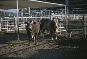 Bulls Metal Prints - Rodeo Bulls Look Directly At The Camera Metal Print by Taylor S. Kennedy
