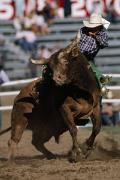Rodeo Bulls Posters - Rodeo Competitor In A Steer Riding Poster by Chris Johns