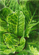 Vegetarian Drawings Framed Prints - Romaine Unfurling Framed Print by Steve Asbell