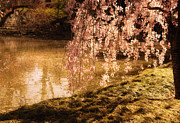 Spring Nyc Posters - Romance - Sunlight through Cherry Blossoms Poster by Vivienne Gucwa