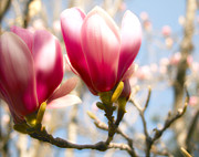 Tulip Tree Digital Art Prints - Romance of the Tulip Magnolia Print by Sally Bauer