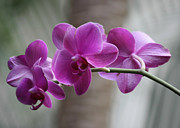 Purple Orchids Posters - Romantic Purple Orchids Poster by Carol Groenen