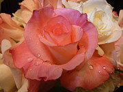 Creams Prints - Romantic Roses and Raindrops Print by Cindy Wright