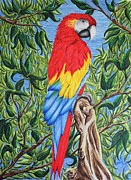 Macaw Drawings - Romeo by Carol Frances Arthur