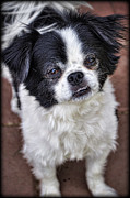 Japanese Chin Framed Prints - Romeo  Framed Print by Saija  Lehtonen