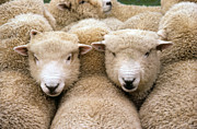 Flock Of Sheep Posters - Romney Sheep Poster by Gregory G Dimijian and Photo Researchers